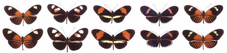 Some of the geographic forms of Heliconius erato (top row) and H. melpomene (bottom row)