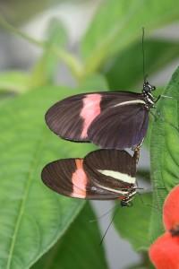 Mating between H. m. melpomene and H. m. rosina