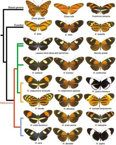 A simplified phylogeny showing some of the colour patterns found across the group.© Mathieu Joron
