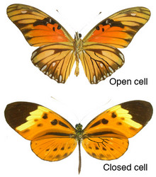 Heliconiini representatives with open and closed discal cells. Open and closed discal cells are outlined in black in the right hindwing of each butterfly.© Margarita Beltran