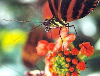Heliconius butterfly with proboscis bearing pollen collected from Psiguria flowers. @Mathieu Joron