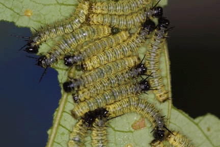 H. sara lays 15-40 eggs, generally on Passiflora auriculata. @Caterpillars of la selva