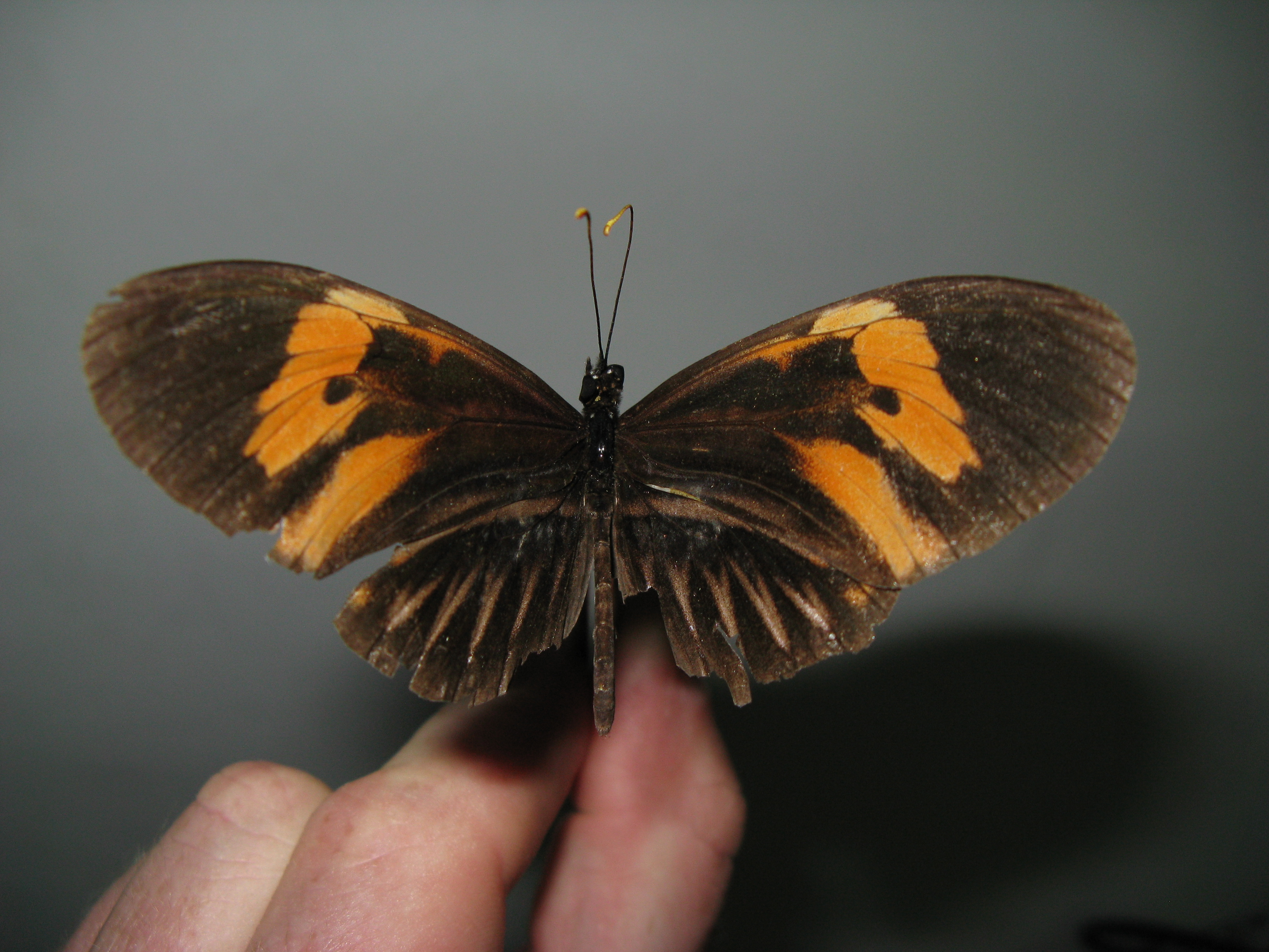 interspecific hybrid