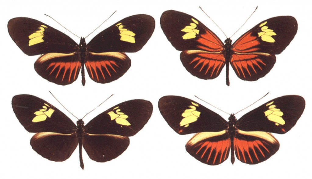 photo of a polymorphic Heliconius