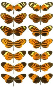 Heliconius numata wing pattern forms on the right and their Melinaea models on the left. The butterflies on the left all belong to different species, while those on the right are all morphs of the same species.