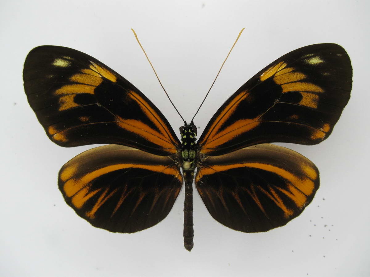 Heliconius interspecific hybrid
