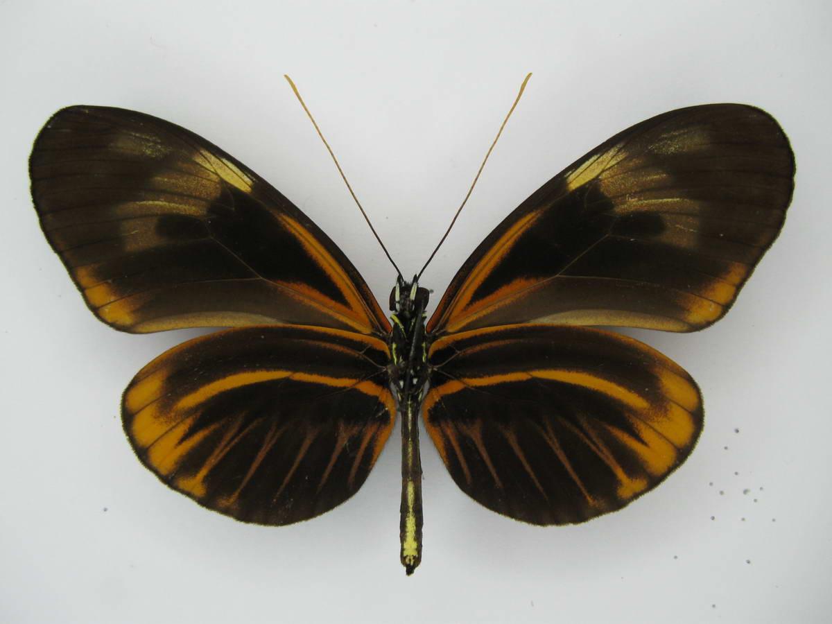 Heliconius interspecific hybrid FD Contamana Rio Ucayali ex Bueche IMG_4837_resize