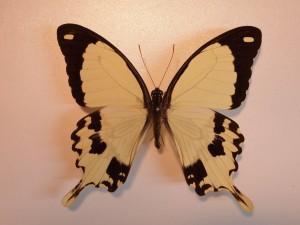 P. dardanus male