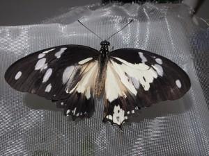 Mosaic gynandromorph of Papilio dardanus
