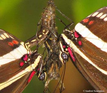 Pupal Mating