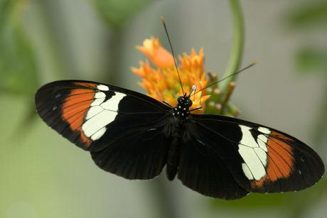 Heliconius heurippa