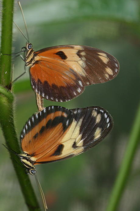 Heliconius ismenius mating