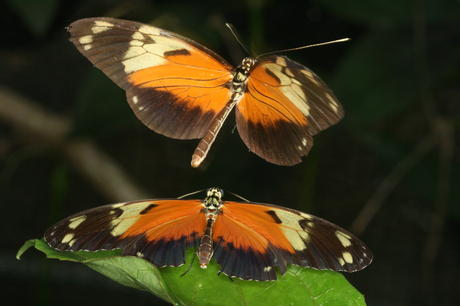 Heliconius ismenius courting