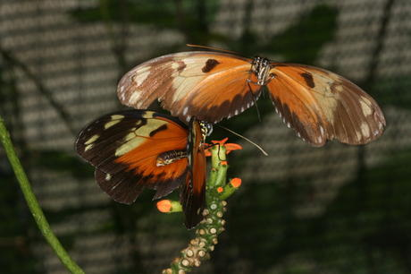 Heliconius ismenius courting 2