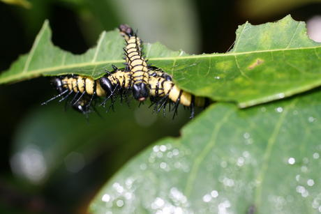 Gregarious larvae