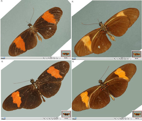Is the type of Heliconius melpomene really a Heliconius erato?